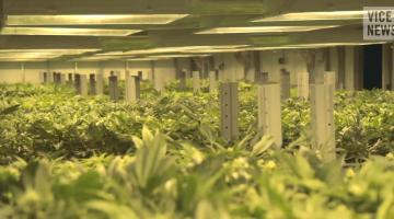 Vice Inside America's Billion Dollar Weed Business